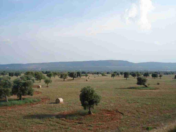 fig.4 paesaggio olivetato