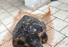 tartaruga salvata a Torre Pozzelle