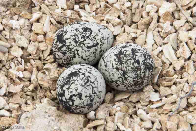 Uova del Fratino