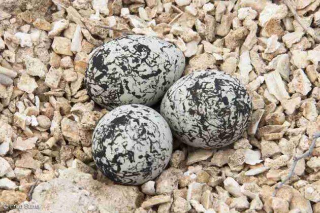 Schiuse con successo tutte le uova di Fratino ad Ostuni, nati ben 13 piccoli