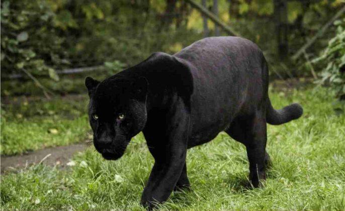 Ostuni: animale nero di grossa taglia nelle campagne, scatta l'allarme pantera